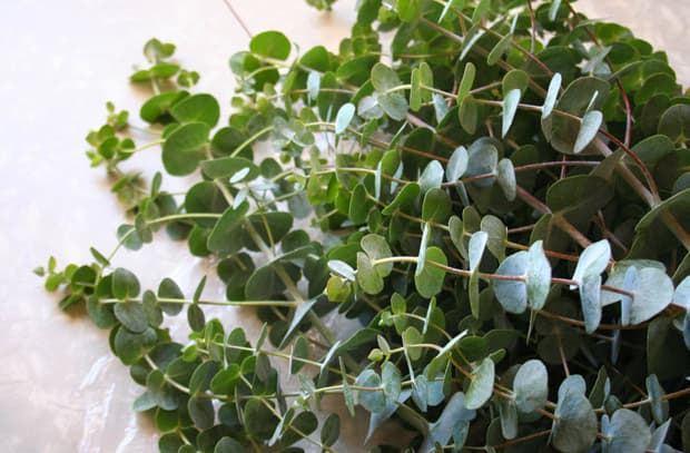 eucalyptus 7 Having a Dinner Party? Tips You Need to Know...