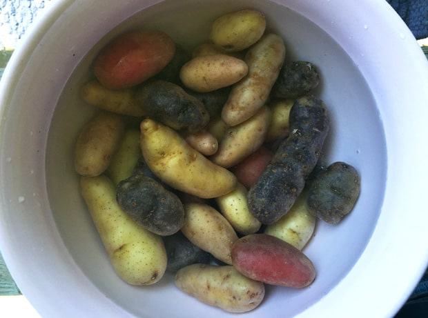 Fingerling-potatoes-in-water