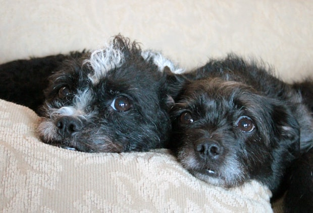 Boston Terrier Poodle Mix Sept 15 B Love your little dogs? Give them CESAR® Home Delights™