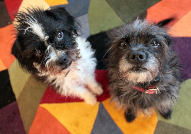 Boston Terrier Poodle Mix Sept 15 E Love your little dogs? Give them CESAR® Home Delights™