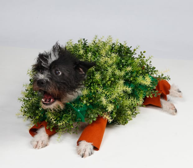 A Chia Pet costume is easy to DIY — just attach aquarium plants to a dog-sized sweater. sometimes costumes don't work for every pet. Be sure to only dress your pets up if you know they are.