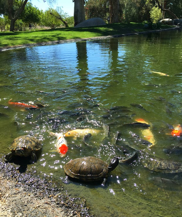 Two Bunch Palms fish turtle pond California Spa Review: Two Bunch Palms
