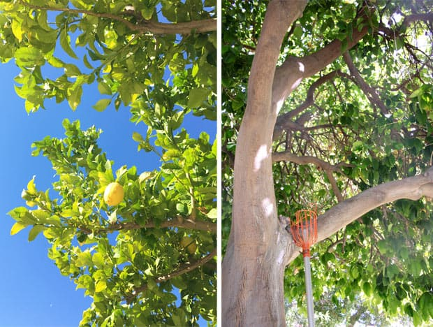 Two Bunch Palms fruit tree California Spa Review: Two Bunch Palms