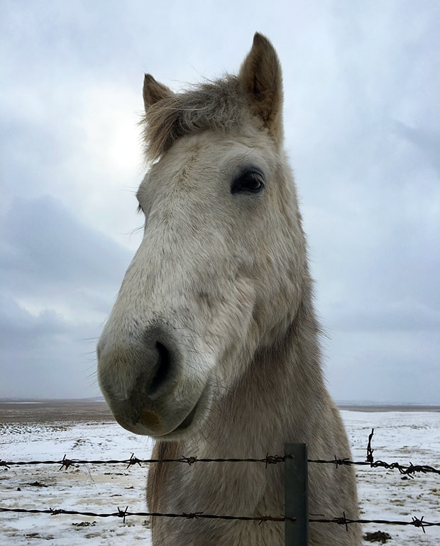 Icelandic Horses My Iceland Adventure, Part Two: Foodie Delights and The Golden Circle