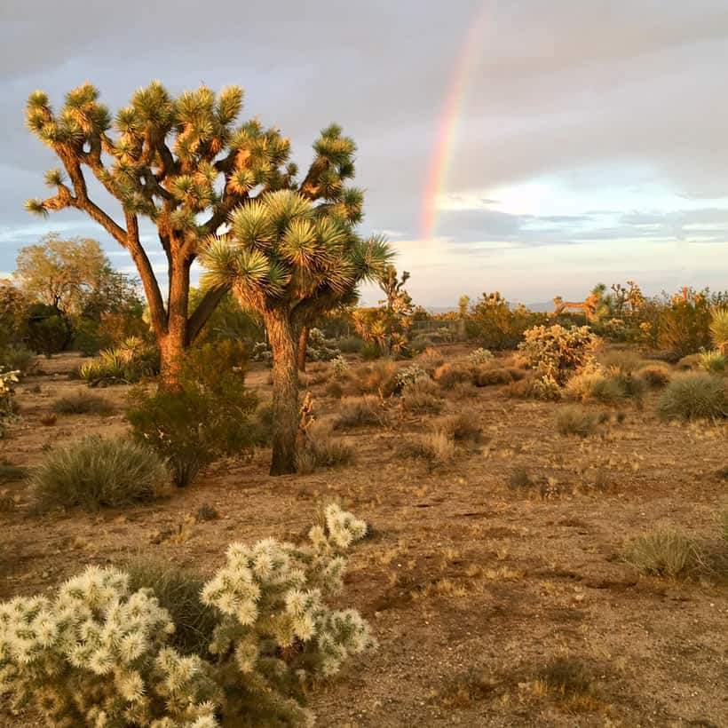 Rainbow in cloudy sky with cactus and Joshua Tree