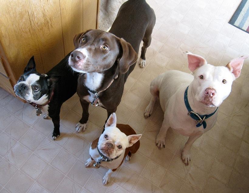 Boston Terrier Pit Bull German Shorthair Pointer Black Phoenix Trading Post: Dog Days of Summer Hair Gloss